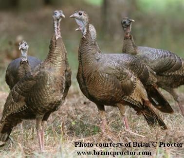 Turkey hunting keep your gobblers close hens closer click publicscrutiny Choice Image